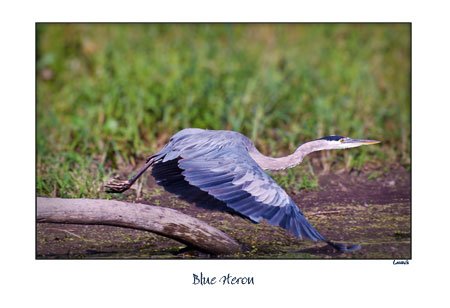 Blue Heron- Launch