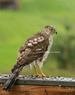 Coopers Hawk IV