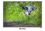 Blue Heron-On the Fly