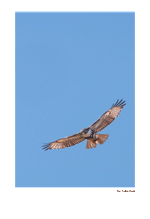 Red-Tailed Hawk II